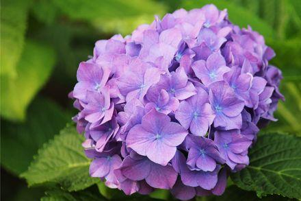 画像:紫陽花